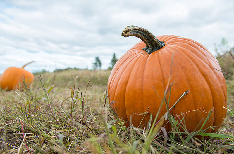 Big orange pumpkin sits in a patch ready to be taken home for Halloween by Cara Dolan for Stocksy United