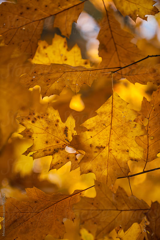 Brown Autumn Leaves as a Background by Mosuno for Stocksy United