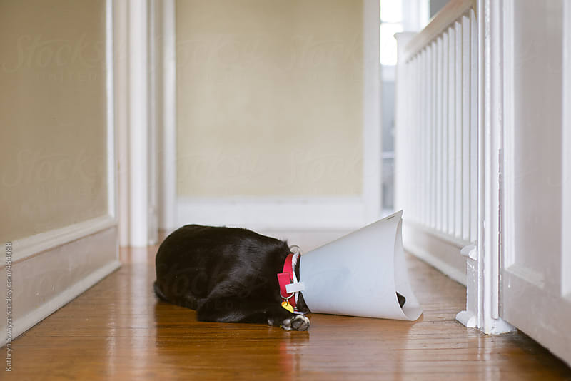 Black dog lying down in hallway while wearing the cone of shame by Kathryn Swayze for Stocksy United