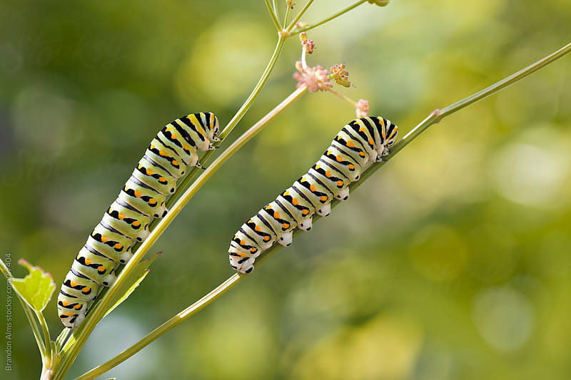 Black Swallowtail Caterpillar Twins by Brandon Alms for Stocksy United