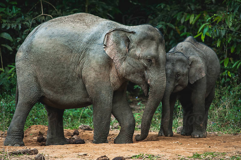 Elephant Family by Chalit Saphaphak for Stocksy United