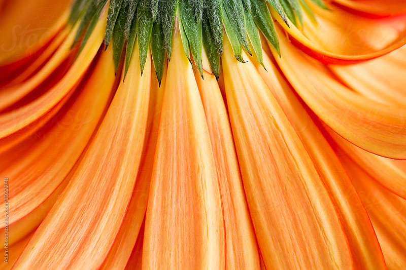 Close-up of the under side of orange gerbera daisy petals by Adam Nixon for Stocksy United