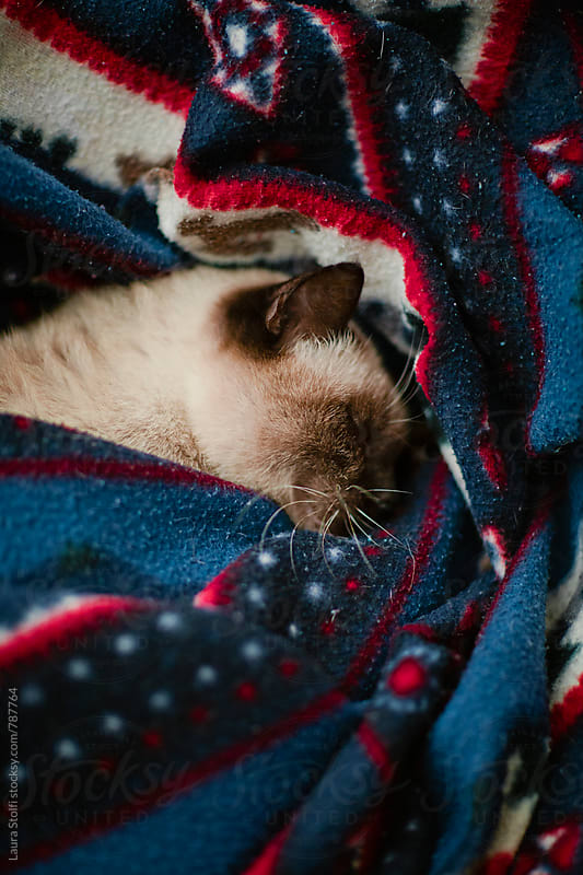 Overhead close-up of siamese cat sleeping hard while rolled up in blanket by Laura Stolfi for Stocksy United