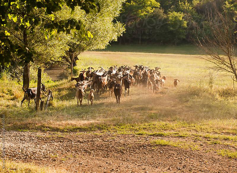Orgainc goat farming by Gergely Kishonthy for Stocksy United