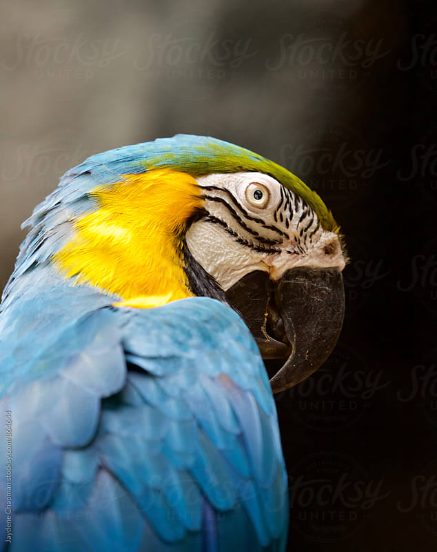 The magnificent colours of the tropical Macaw bird by Jaydene Chapman for Stocksy United