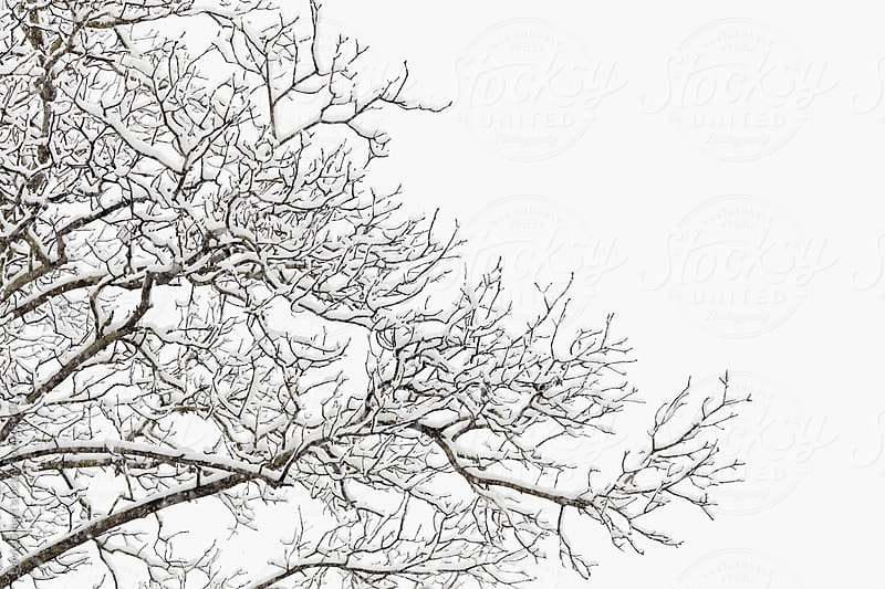 Snow covered branches of a hickory tree by David Smart for Stocksy United