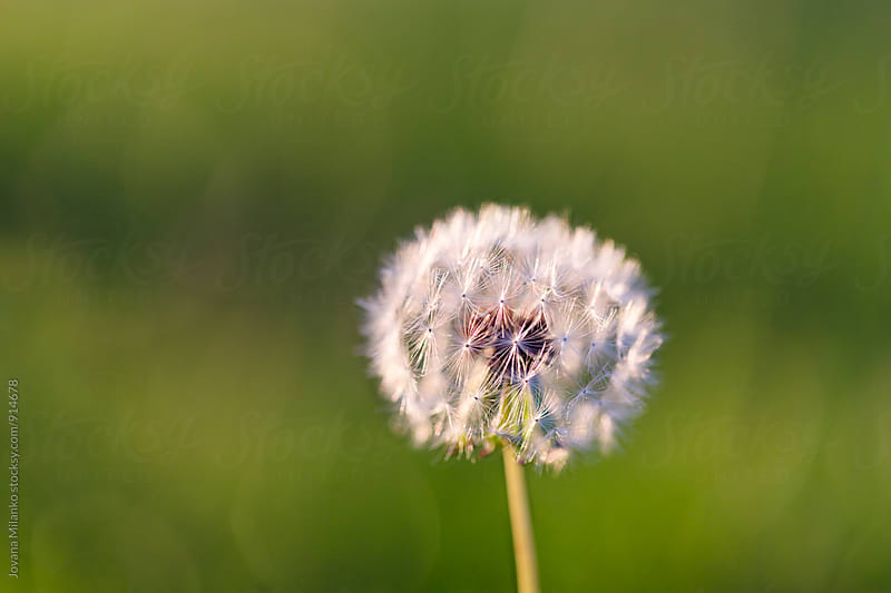 White dandelion on a green meadow  by Jovana Milanko for Stocksy United