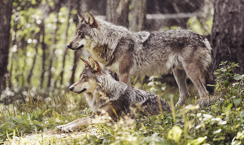 Wolves by Andreas Gradin for Stocksy United