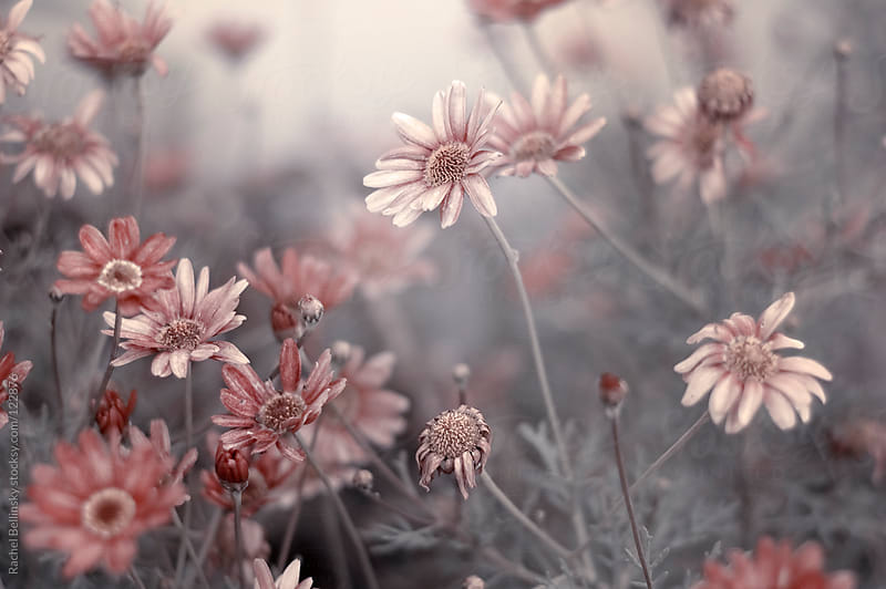 Pale pink flowers slowly dying on grey stems by rachel for Red and grey wallpaper