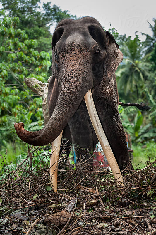 Sri Lanka Asian elephant by Jino Lee for Stocksy United