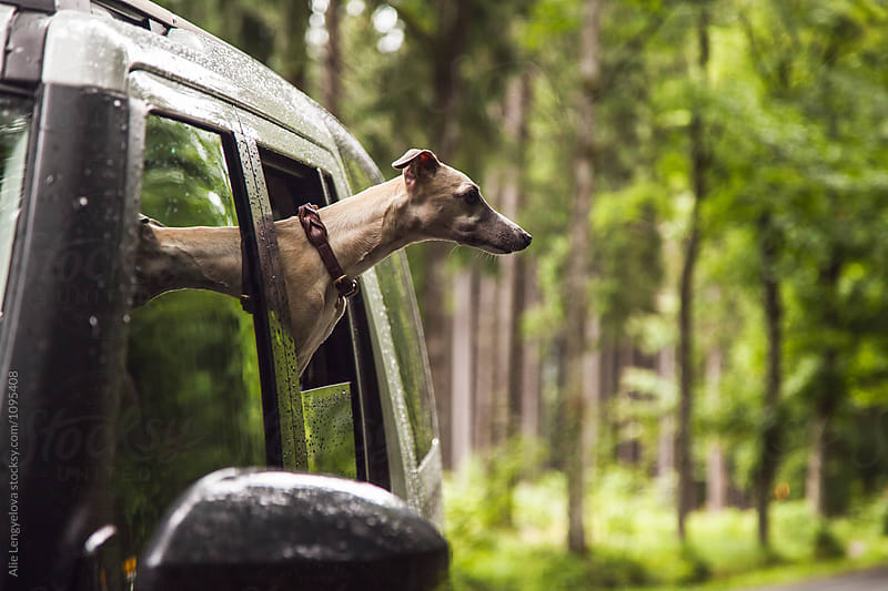 Raindrops and Whippet in the Car by Alie Lengyelova for Stocksy United