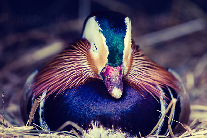 Mandarin duck taking a nap by Kerry Murphy for Stocksy United