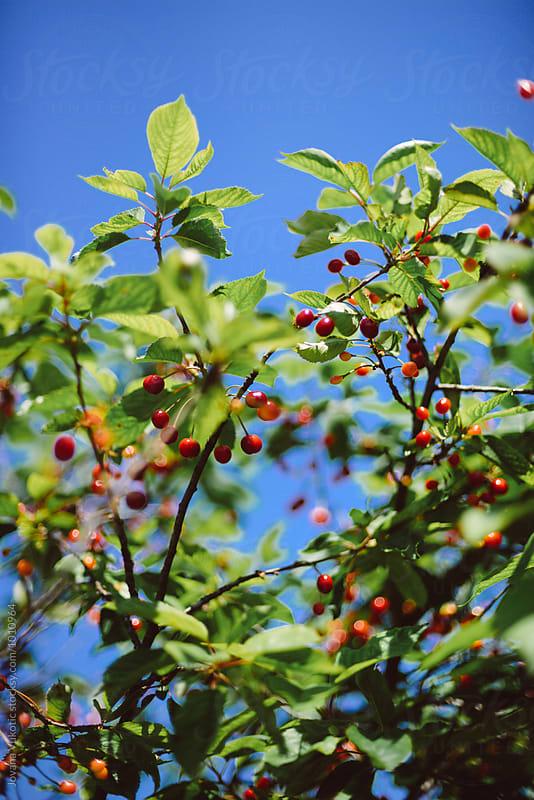 Cherry tree by Jovana Vukotic for Stocksy United