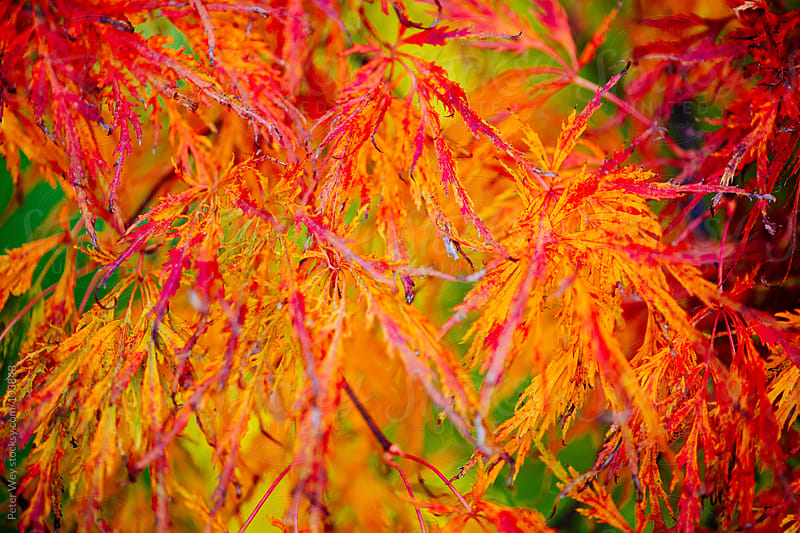 colorful autumn leafs  by Peter Wey for Stocksy United