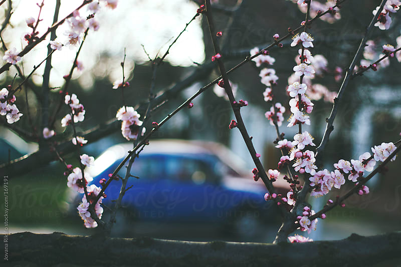 Cherry blossom and blue car in the background by Jovana Rikalo for Stocksy United
