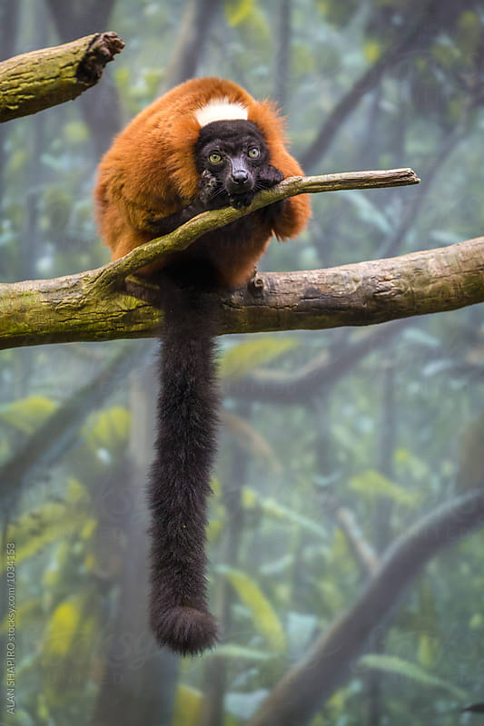 red ruffed lemur by alan shapiro for Stocksy United