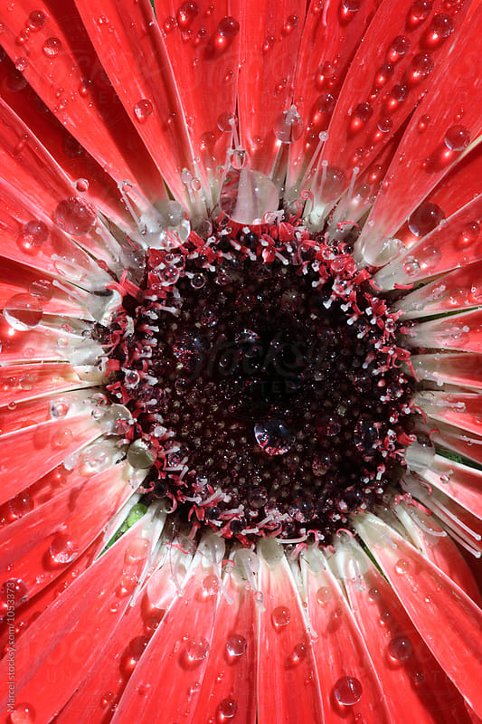 Vibrant red gerbera daisy by Marcel for Stocksy United