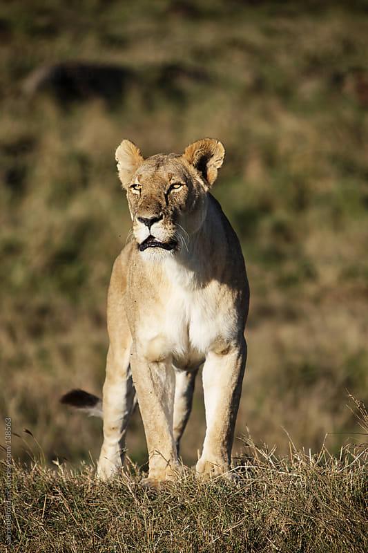 Lioness Gaze  by aaronbelford inc for Stocksy United