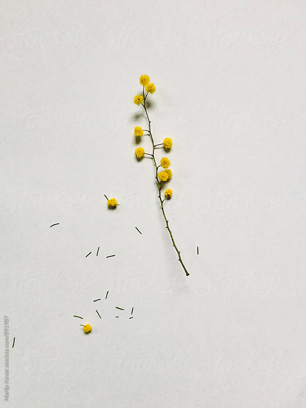 Yellow wild flower on a white background  by Marija Kovac for Stocksy United