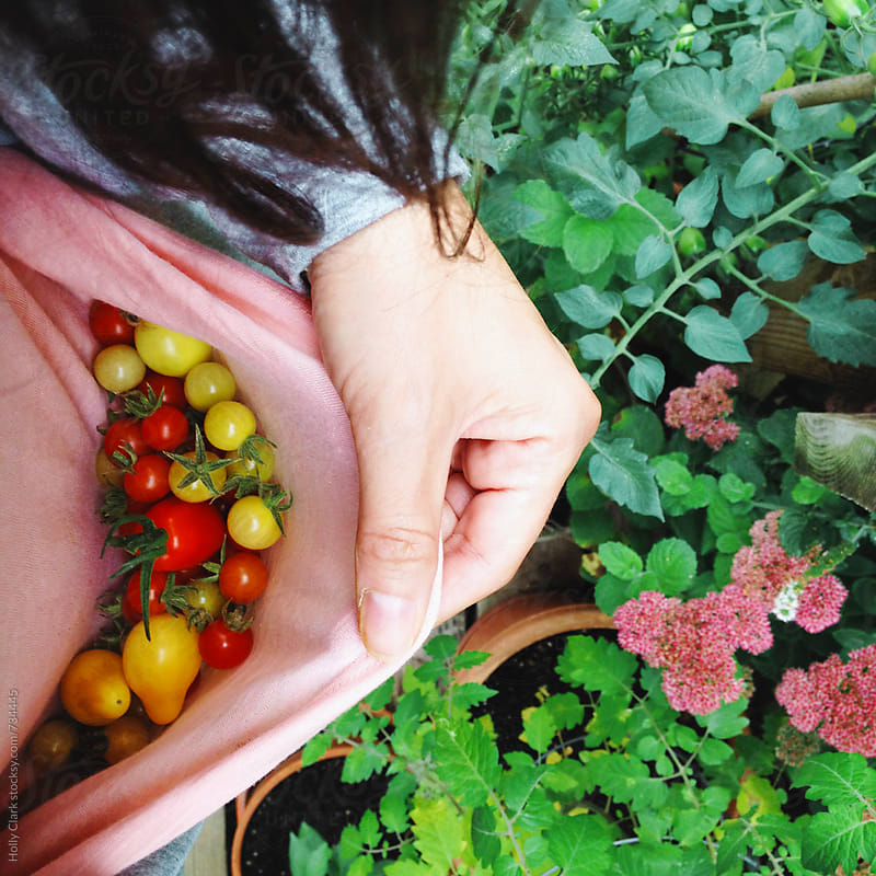 Cherry tomatoes collected from the garden in a woman's shirt. by Holly Clark for Stocksy United