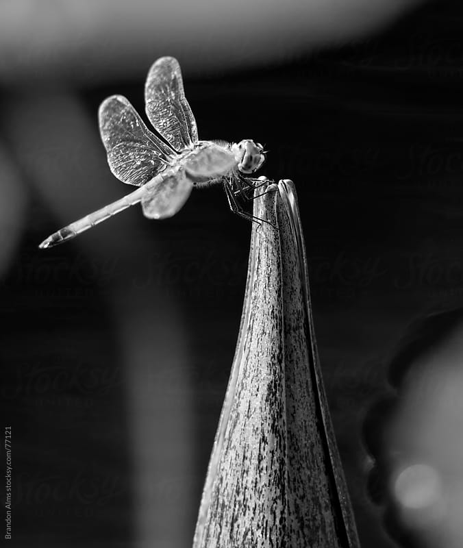 Grayscale Dragonfly Macro on a Water Lily by Brandon Alms for Stocksy United