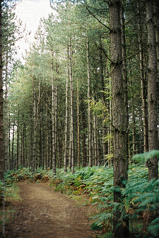 A path through a forest of tall pine trees. by Helen Rushbrook for Stocksy United