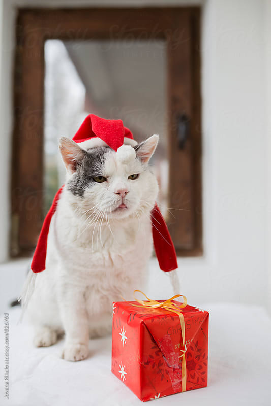 Christmas cat by Jovana Rikalo for Stocksy United