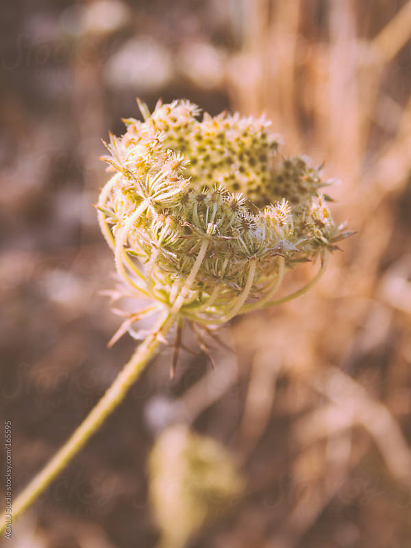 Wild carrot by ACALU Studio for Stocksy United