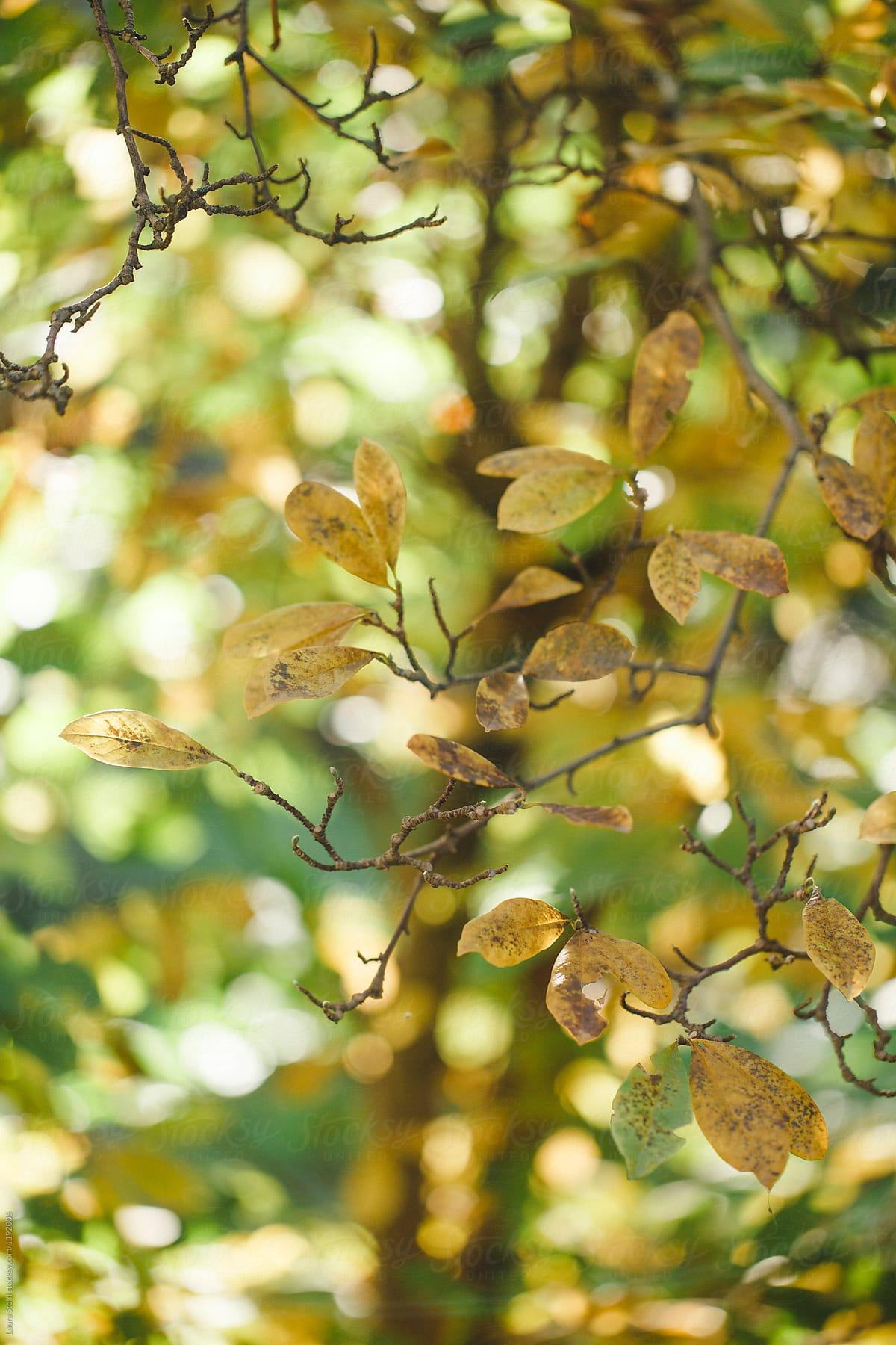 Leaves Changing Colors On Magnolia Tree Stocksy United