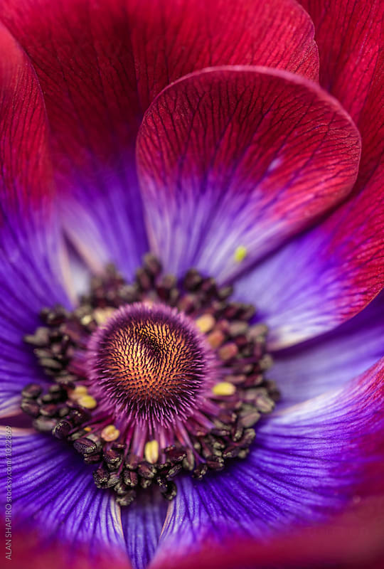 Anemone by alan shapiro for Stocksy United