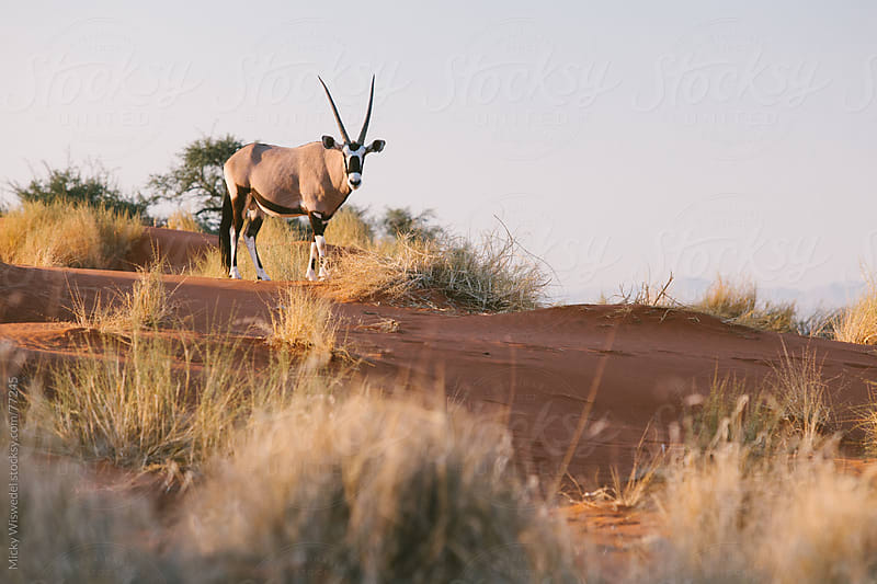 African Oryx on sand dunes in the desert by Micky Wiswedel for Stocksy United
