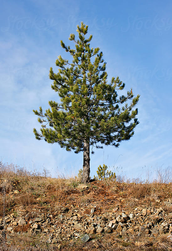 Lonely pine tree by Bratislav Nadezdic for Stocksy United