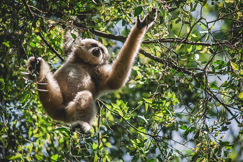 Gibbon by Chalit Saphaphak for Stocksy United