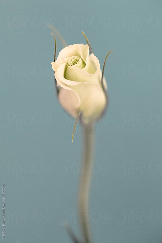White rosebud by T-REX & Flower for Stocksy United