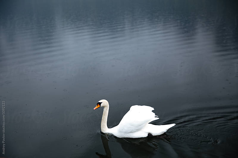 White swan floating on lake by Andrey Pavlov for Stocksy United