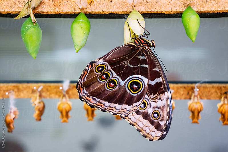 Butterfly with cocoons by ACALU Studio for Stocksy United
