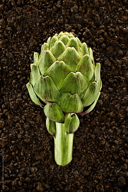 Organic Artichoke :Fresh picked natural vegetable in soil by Ania Boniecka for Stocksy United