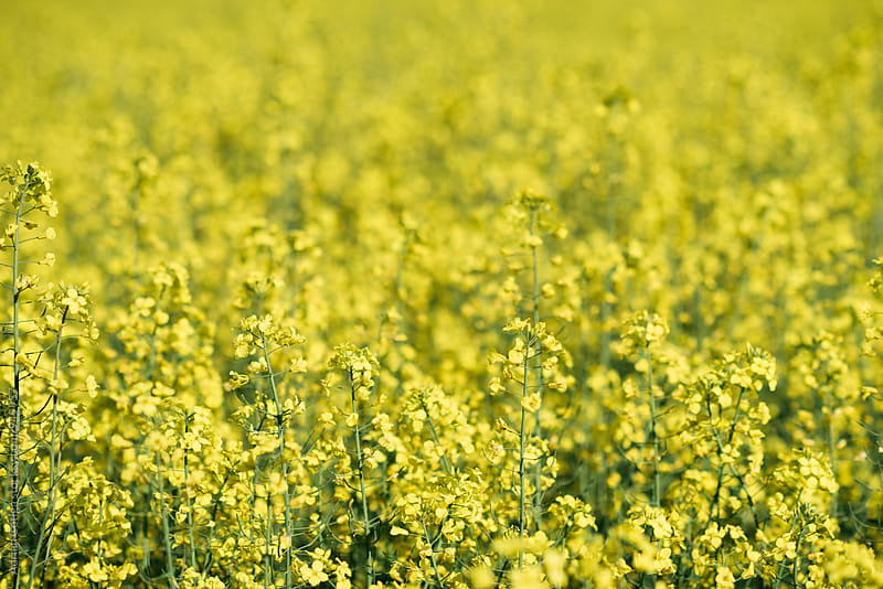 Rape field on a sunny day by Adrian Cotiga for Stocksy United