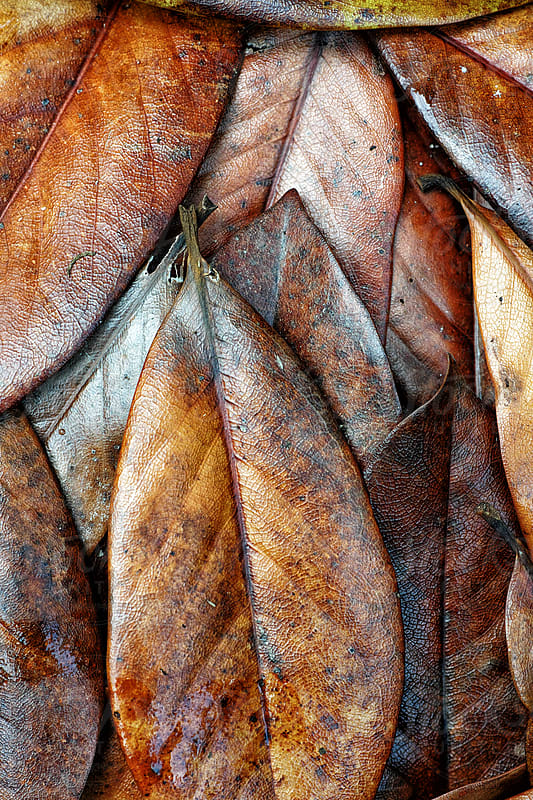 Fallen brown magnolia leaves by Marcel for Stocksy United