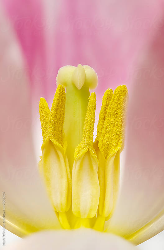 Inside a Tulip by Mark Windom for Stocksy United