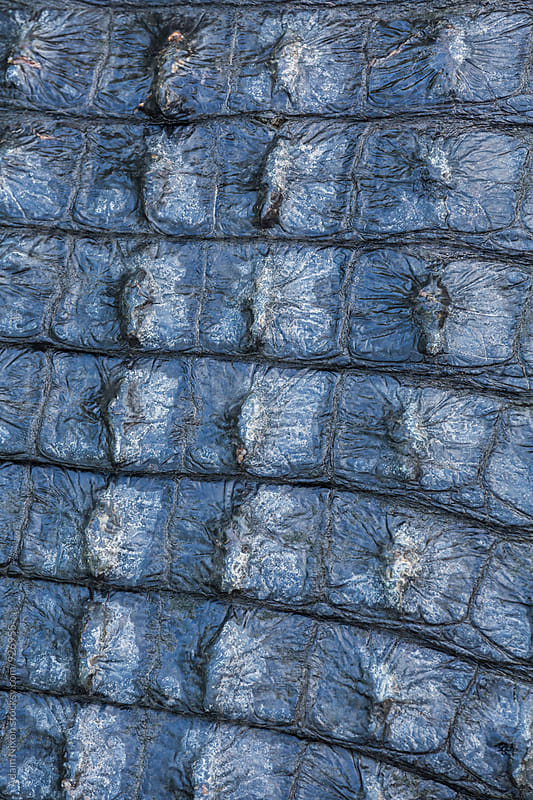 Close-up of alligator skin by Adam Nixon for Stocksy United