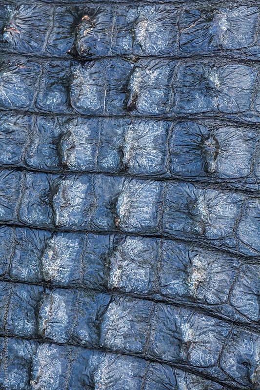 Close-up of alligator skin by Adam Nixon for Stocksy United