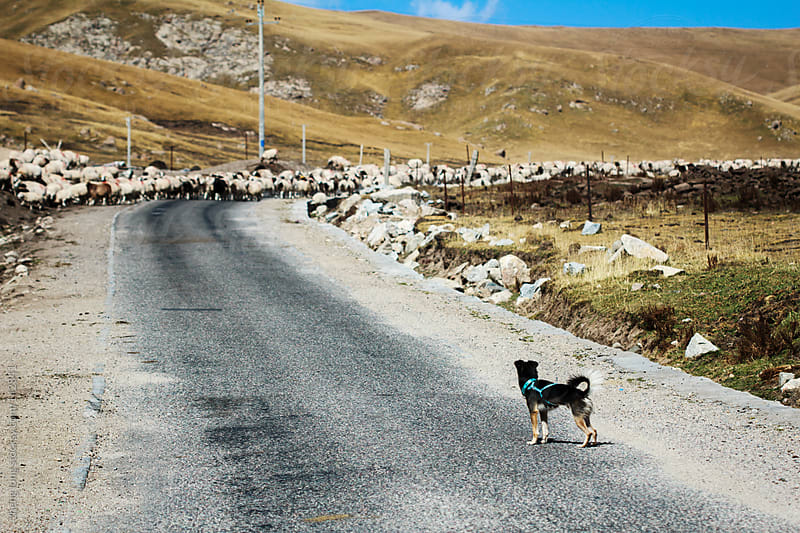 dog and sheep on country road,in west of China by zheng long for Stocksy United