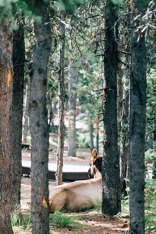 A Female Elk Cow Resting In The Shade Of Pine Trees by Luke Mattson for Stocksy United