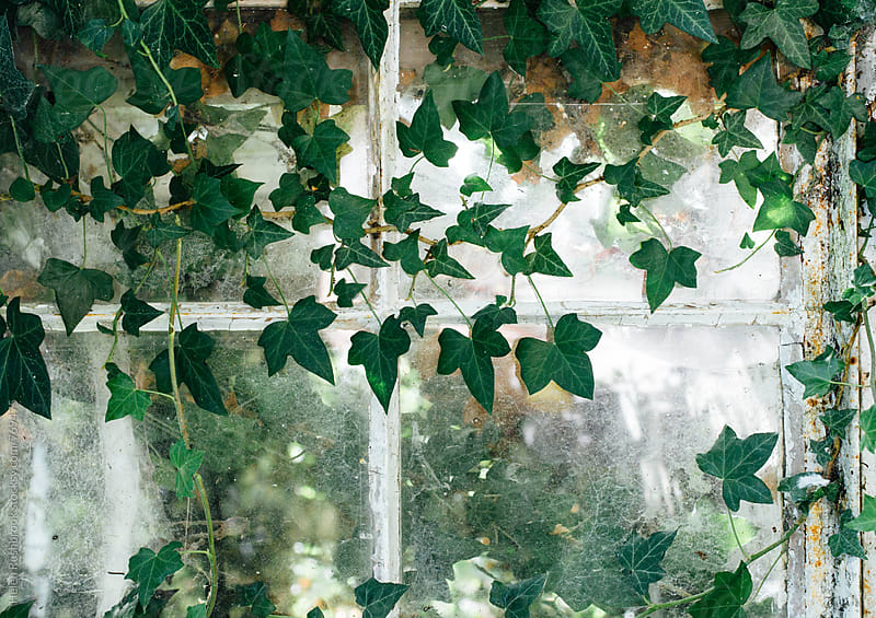 Ivy growing across a window by Helen Rushbrook for Stocksy United