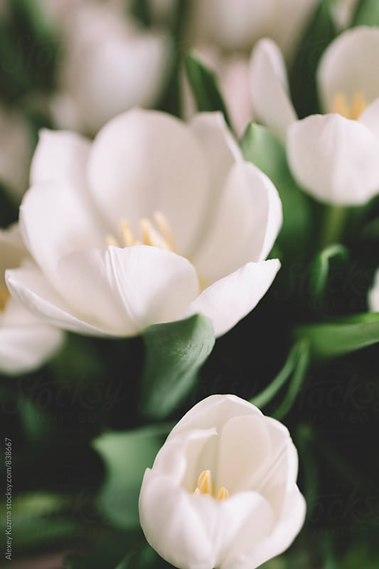 White Tulips in Closeup by Alexey Kuzma for Stocksy United