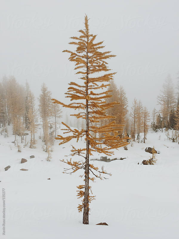 Golden Larch Tree by Kevin Russ for Stocksy United