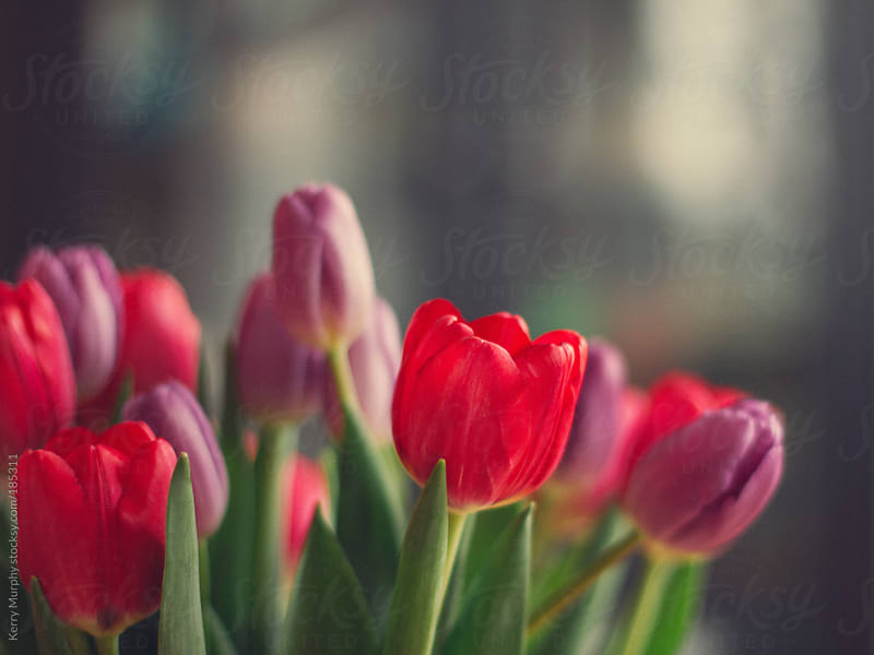Closeup of pink tulips in soft light by Kerry Murphy for Stocksy United