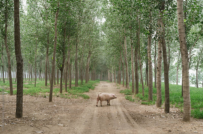 A pig standing in a road of forest by MaaHoo Studio for Stocksy United