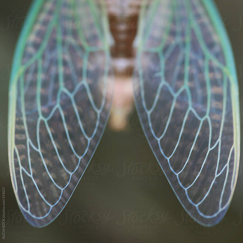 Cicada Wings by ALICIA BOCK for Stocksy United